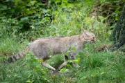 Zoo Duisburg Wildkatze