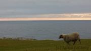 Fair Isle, Schafe