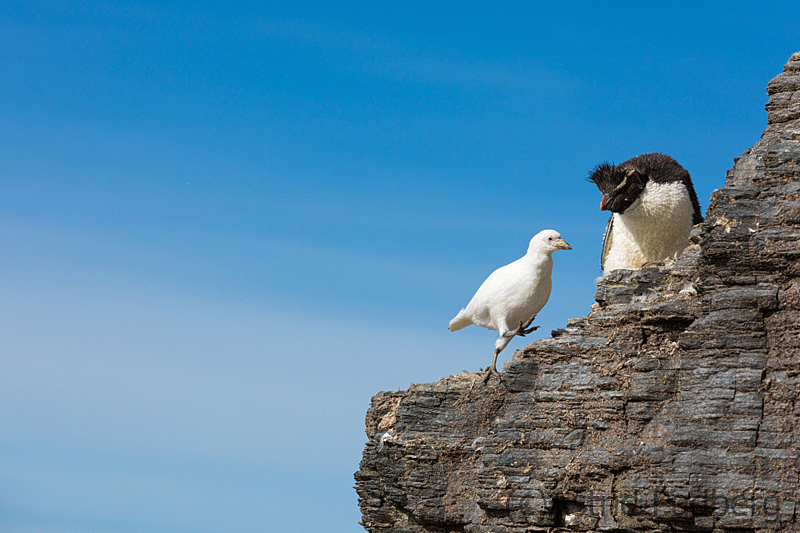 Felsenpinguin, Bleaker Island