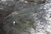 Heimkehr, Felsenpinguin, Bleaker Island