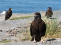 Falklandkarakara, Bleaker Island