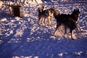 Aufgeregte Schlittenhunde