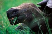 Galapagosriesenschildkröte