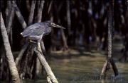 Mangrovenreiher