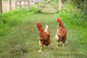 Hühner auf dem Wef von Lanercost nach Greenhead