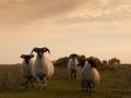 Schafe auf dem Weg zwischen Housesteads und Humshaugh