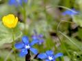 Jungfrauensteig, Frühlingsenzian