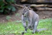 Zoo Duisburg Bennetskänguru