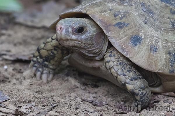 Gelbkopfschildkröte