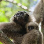 Gibbon bei Ta Nei