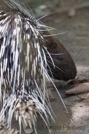 Kurzschwanz-Stachelschwein