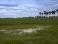 Reisfelder mit Palmen