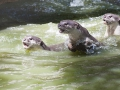 Otter auf der Jagd