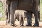 Elefantenbaby im Schutz der Füße