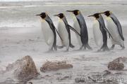 Königspinguine im Sandsturm