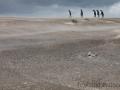 Königspinguine am Volunteer Beach