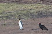 Königspinguin mit Truthahngeier