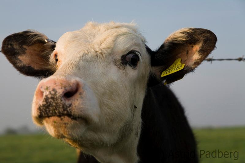 Neugierige Kuh