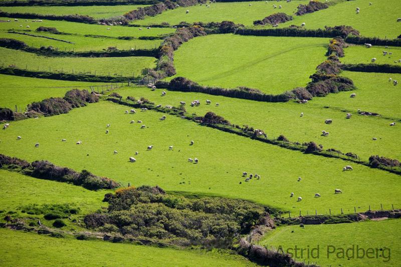Schafweiden zwischen Bryn Swynog und Aberdaron