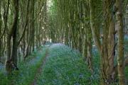 Glockenblumen im Wald