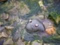 Schneckenfrosch am Strand