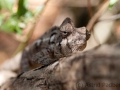 Riesenchamäleon;Madagaskar-Riesenchamäleon;Furcifer oustaleti