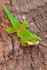 Großer Madagaskar-Taggecko;Phelsuma grandis