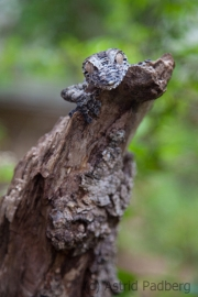 Leaf tailed Gecko;Uroplatus fimbriatus