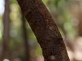 Uroplatus sikorae;Mossy leaf-tailed gecko;Blattschwanzgecko