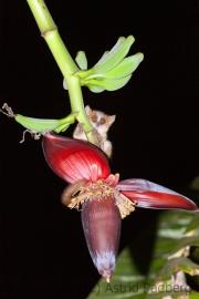 Goldbrauner Mausmaki; Microcebus ravelobensis;