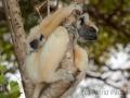 Golden-crowned sifaka;Tattersall's sifaka;Propithecus tattersalli
