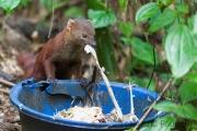 Ringelschwanzmungo;ring-tailed mongoose;Galidia elegans
