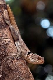 Madagaskar iguana;chalarodon madagascariensis
