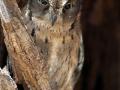 Rainforest Scops Owl;Otus rutilus;Madagascar Scops Owl;Madagaskar-Zwergohreule