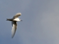 Feenseeschwalbe; Gygis alba;  fairy tern; white tern