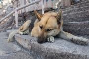 Blinder Hund? Nein, Mischung aus Schäferhund und Husky