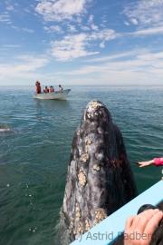 Walmama lukt aus dem Wasser, Bahia San Ignacio