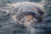 Grauwal mit Seepocken