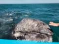 Streicheleinheit für's Grauwalbaby, Guerrero Negro