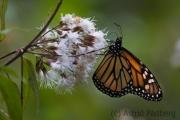 Amerikanischer Monarch