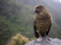 Kea, Arthurs Pass, Otira Point