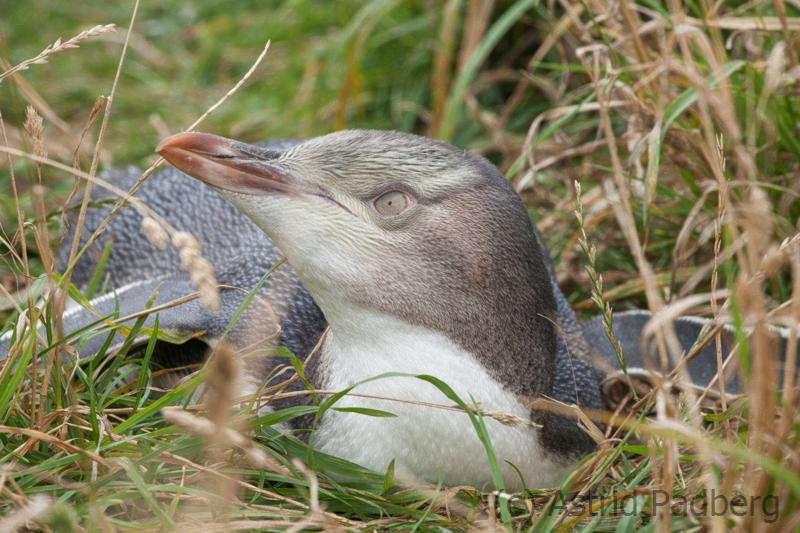 Moeraki, Gelbaugenpinguin;Megadyptes antipodes;Hoiho;Yellow-eyed Penguin