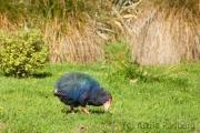 Takahe;Takahe;Südinseltakahe;Porphyrio hochstetteri;Purpurhuhn