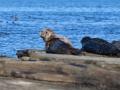 North Ronaldsay, Seehund