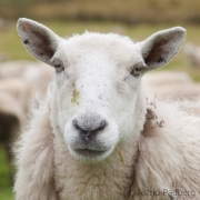 Schaf auf Hoy