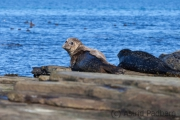 Seehunde, North Rolandsay