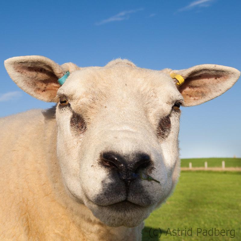Schaf bei den Stones of Stenness