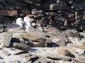 North Rolandsay, Eissturmvögel
