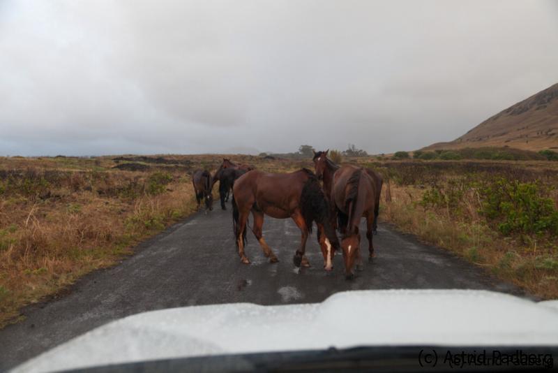 Pferde am Rano Raraku