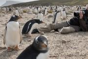Eselspinguin, gentoo penguin, Pinguine